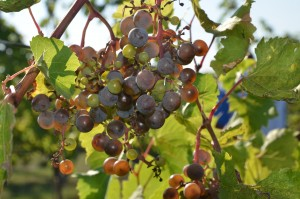 Shot berries on Frontenac Gris