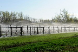 Of the 27 acres of vineyards managed by Round Lake Vineyards, the 18 estate acres have an overhead sprinkler to protect from frost.