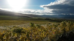 Forrest's vineyard in Waitaki, New Zealand  just before harvest this year. (photo courtesy Forrest)
