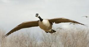 Giant Canada Goose. photo: americanhunter.org