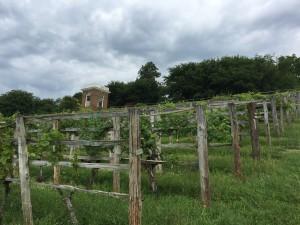 Thomas Jefferson's restored vineyard at Monticello
