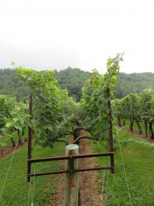 A modified Lyre Trellis System at DuCard Vineyards