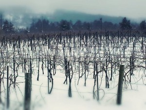 Vines at L. Mawby Winery in January (photo courtesy winery)