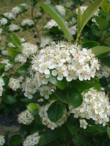 Aronia Blossoming. (Photo by Coldbrook Farm, Inc.)