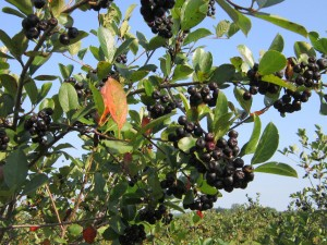Ripe Aronia berries are about the same size as a medium blueberry. (Photo by Coldbrook Farm, Inc)