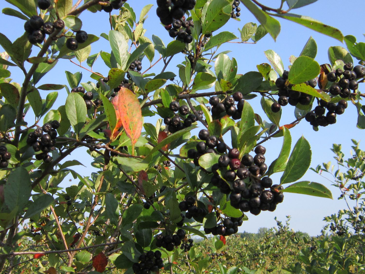 Introducing the aronia berry picture