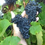 New Grapes Revolutionize Midwest Wine