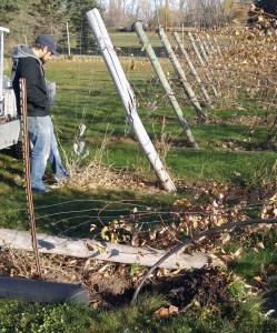 "Sam Jennings, winemaker at Round Lake Winery, supervises the installation of a 6"" Bedford recycled plastic post"