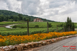 Gloriosa Daisies, ubiquitous in the Tuscan countryside, envelop the 120 acre Raffaldini Estate. In the background is Petit Verdot.)