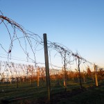 Sustainable Solution: Recycled Plastic Vineyard Posts