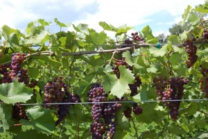 Marquette grapes, photo by Victory View Vineyards