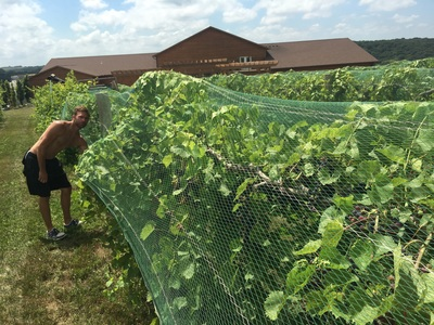 Netting Marquette vines at Calico Skies Winery, late July, 2016 (photo courtesy of winery)